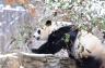National Zoo artificially inseminated giant panda-global-annal